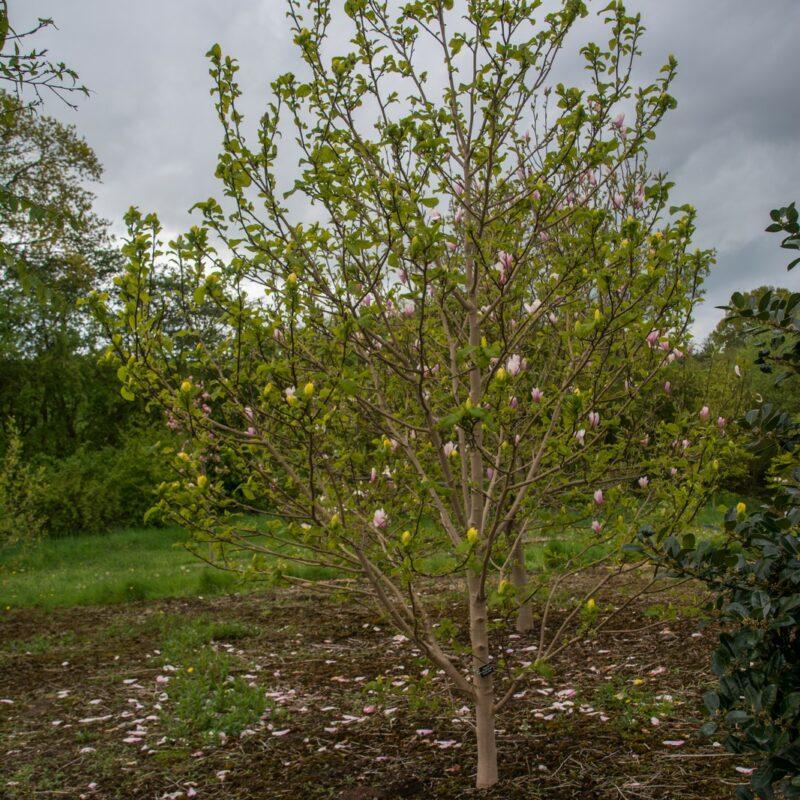 Magnolia 'Yellow Bird' (Yellow) 3