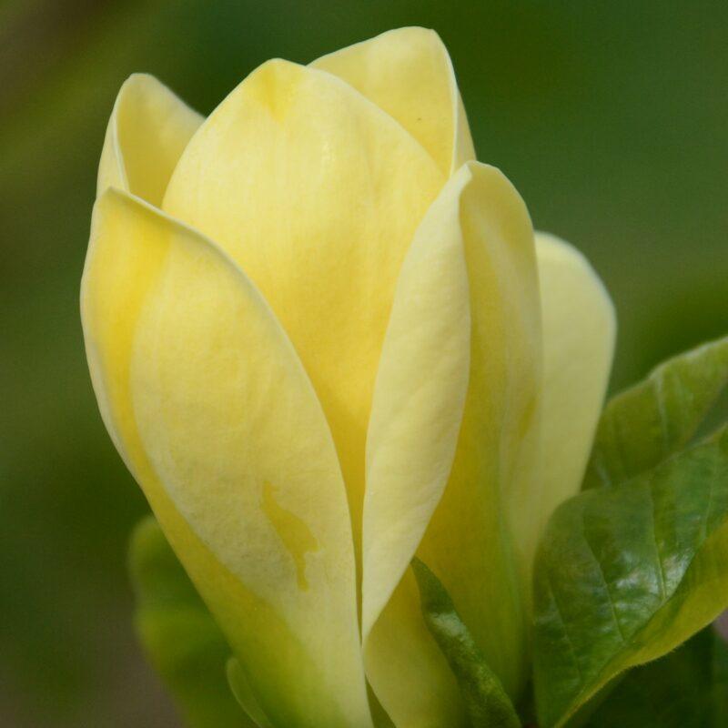Magnolia 'Yellow Bird' (Yellow)