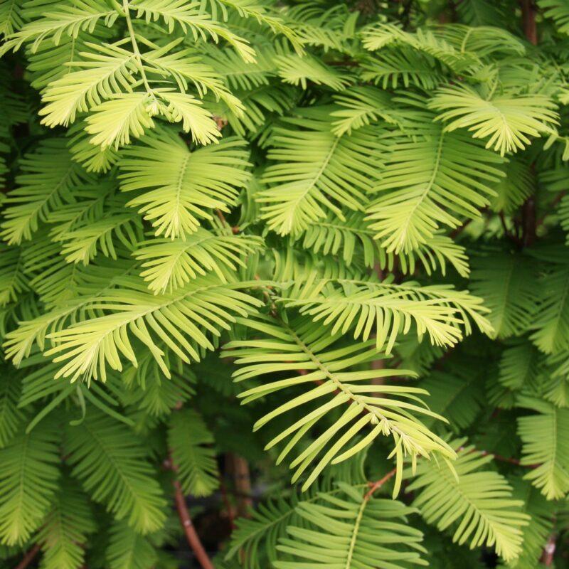 Metasequoia glyptostroboides 'Chubby'