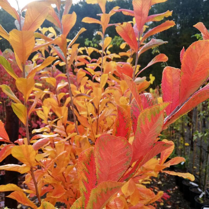 Photinia villosa maximowicziana 1