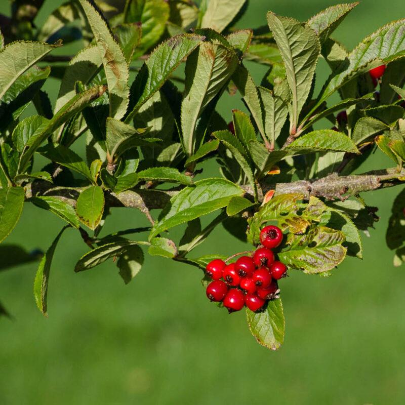 Photinia villosa maximowicziana
