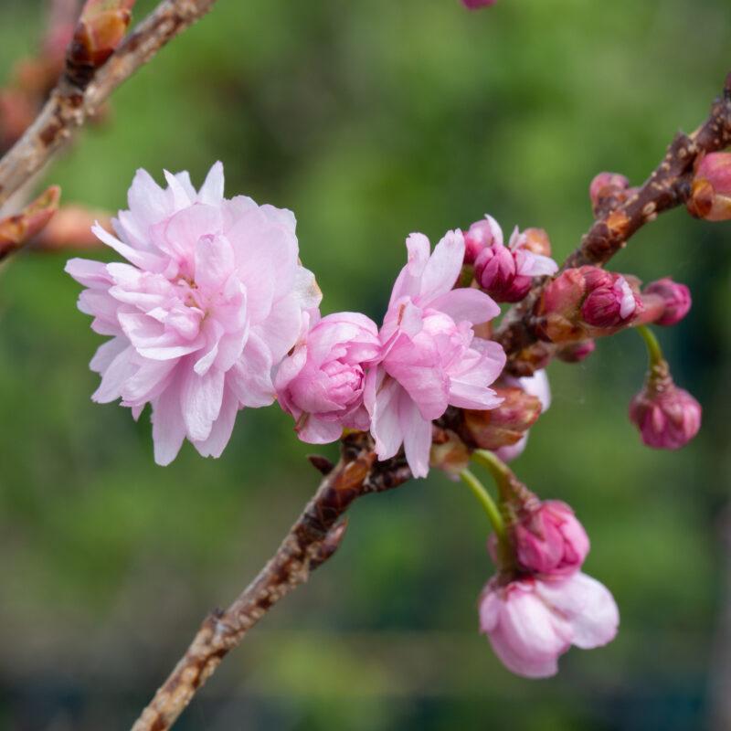 Prunus 'Asano'