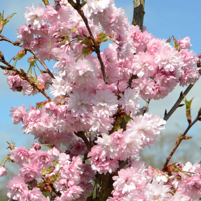 Prunus 'Asano' 2