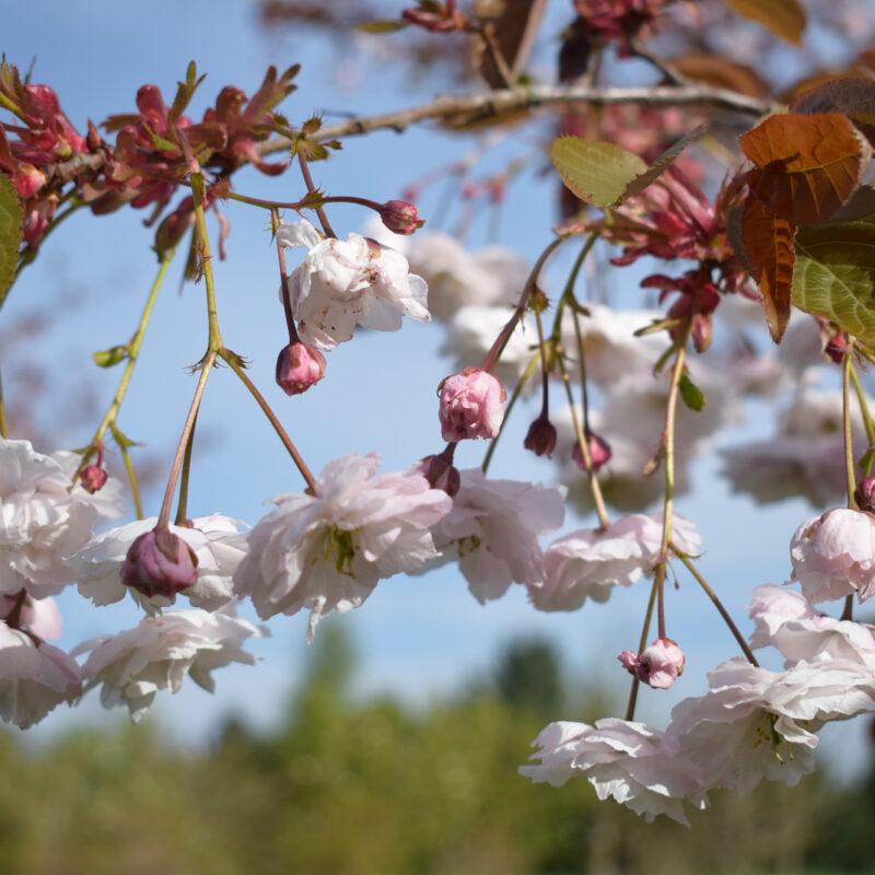 Prunus 'Fugenzo' ('Shirofugen') 1