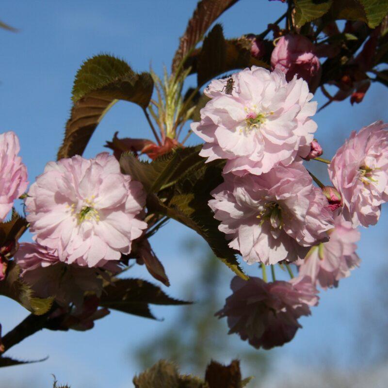 Prunus 'Kofugen' (Fugenzo)