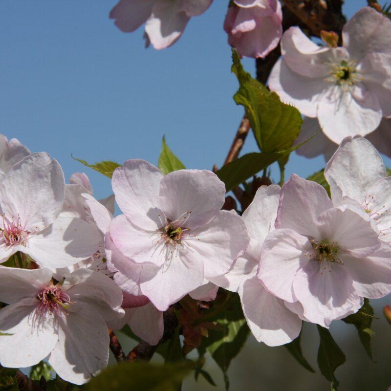 Prunus 'Mikurama-gaeshi'