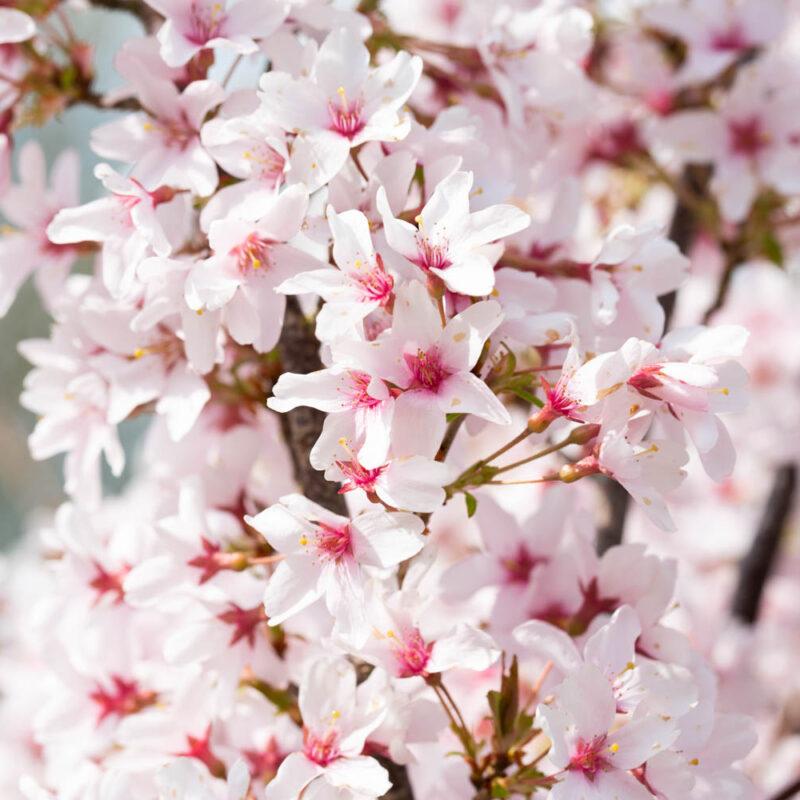 Prunus pendula 'Ascendens Rosea'
