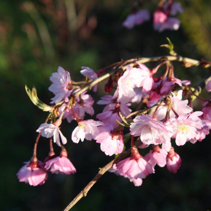 Prunus pendula 'Pendula Rubra'