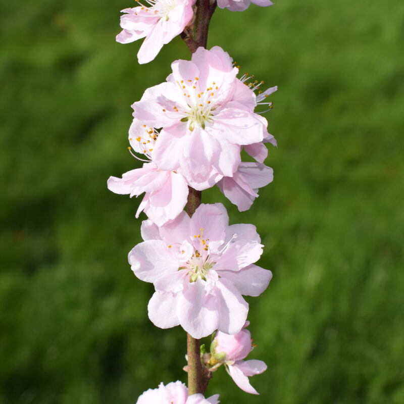 Prunus persica 'Terute Rose'