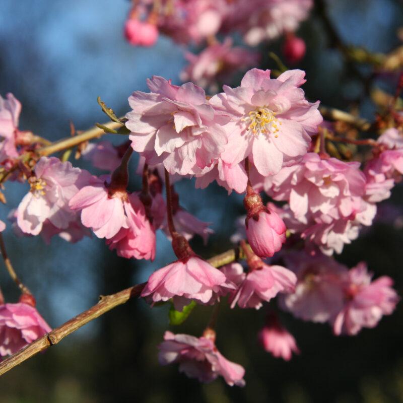 Prunus x subhirtella Pendula 'Plena Rosea'