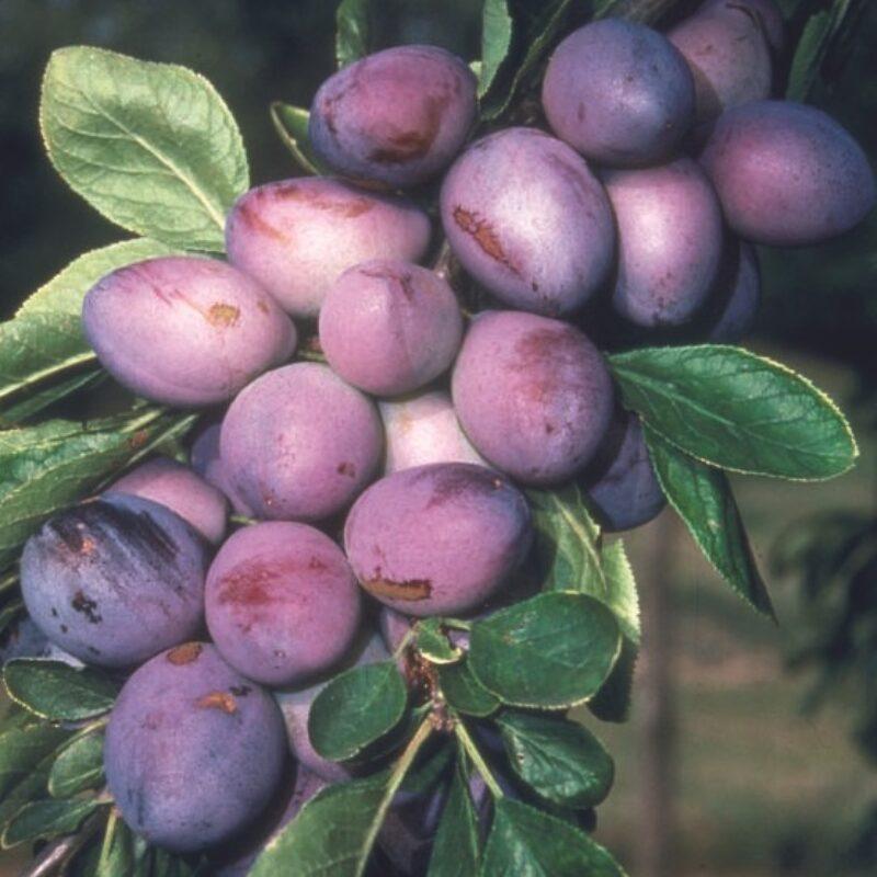 Purple Pershore