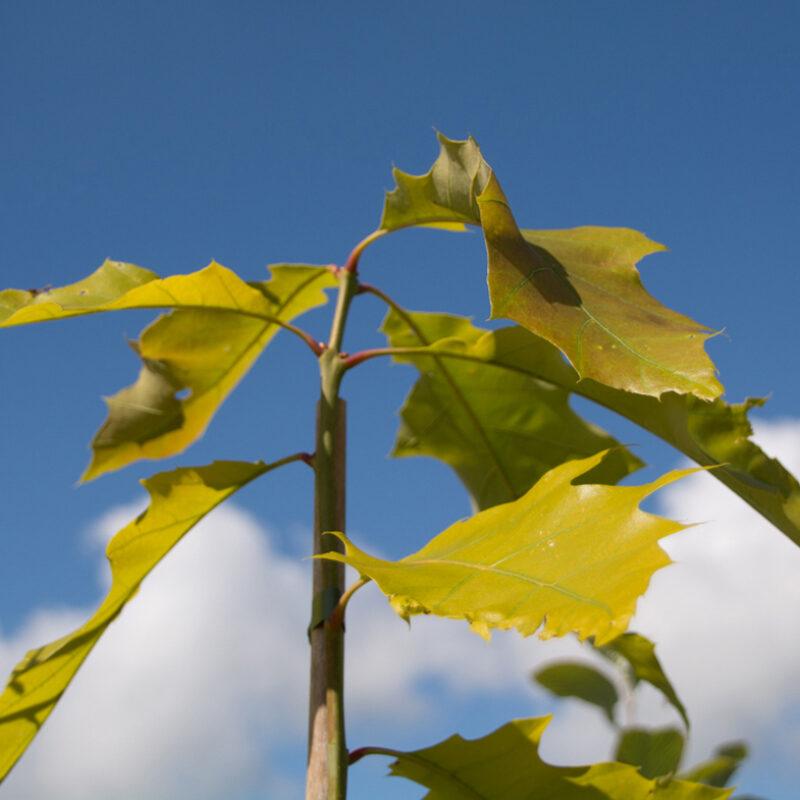 Quercus rubra 'Sunshine'