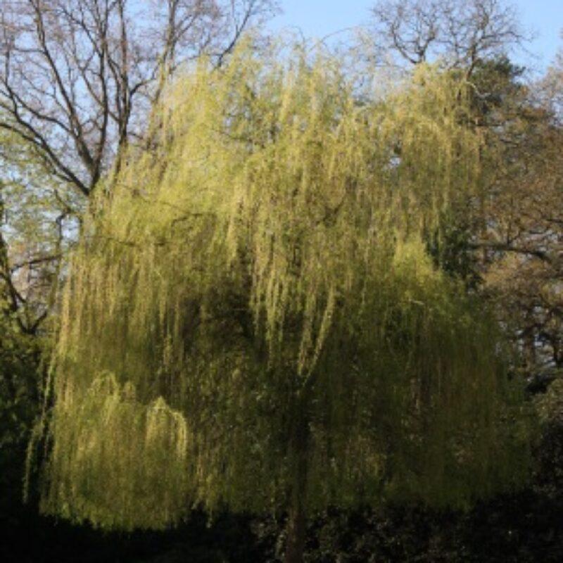 Salix alba 'Tristis'