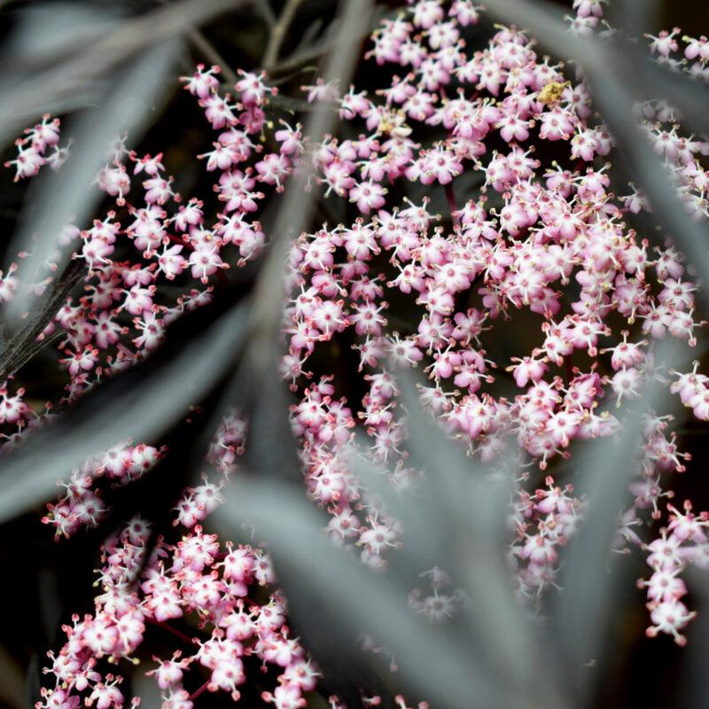 Sambucus nigra porphyrophylla BLACK BEAUTY ® Gerda