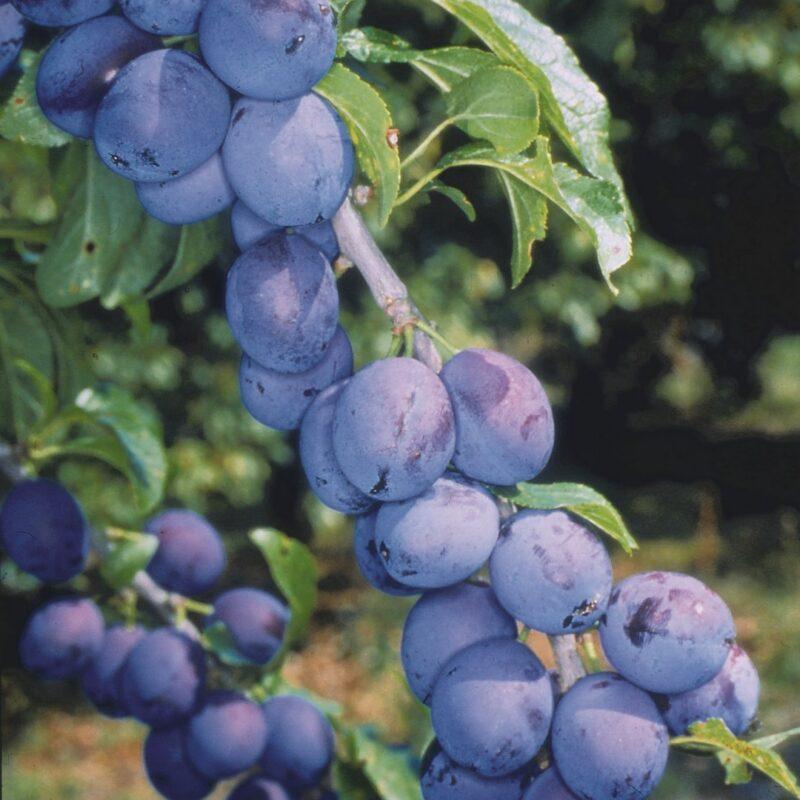 Shropshire Prune