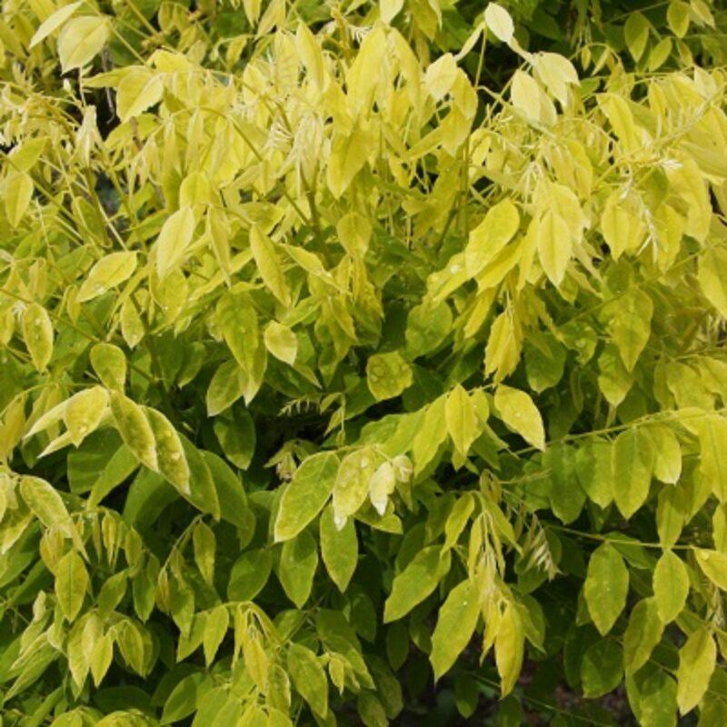 Sophora japonica 'Gold Standard'
