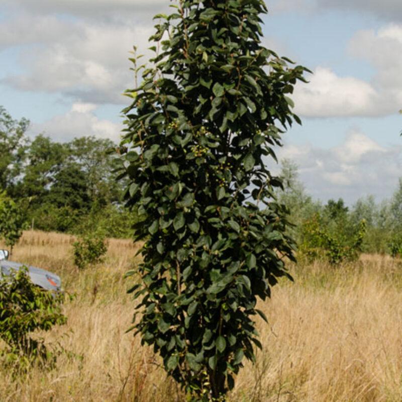Sorbus alnifolia 'Red Bird' 1