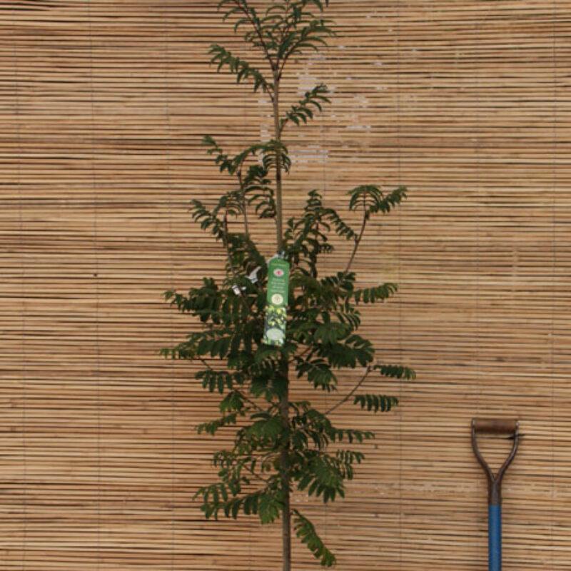 Sorbus aucuparia 'Fingerprint' ®