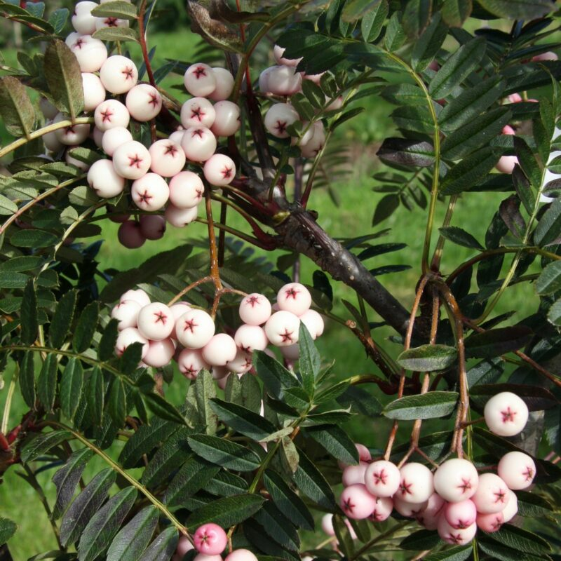 Sorbus bissetii 'Pearls'
