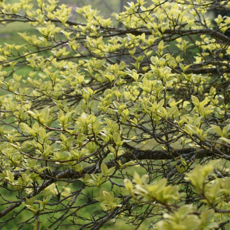 Styrax japonicus 'Fargesii'
