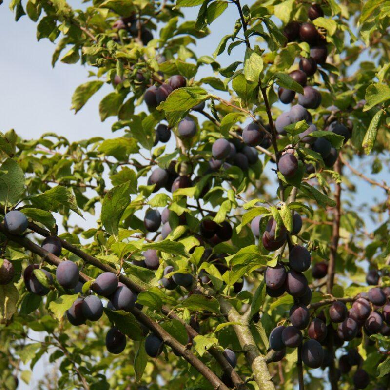Sweet Prune