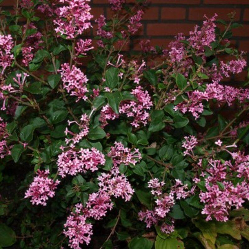 Syringa 'Pink Perfume'
