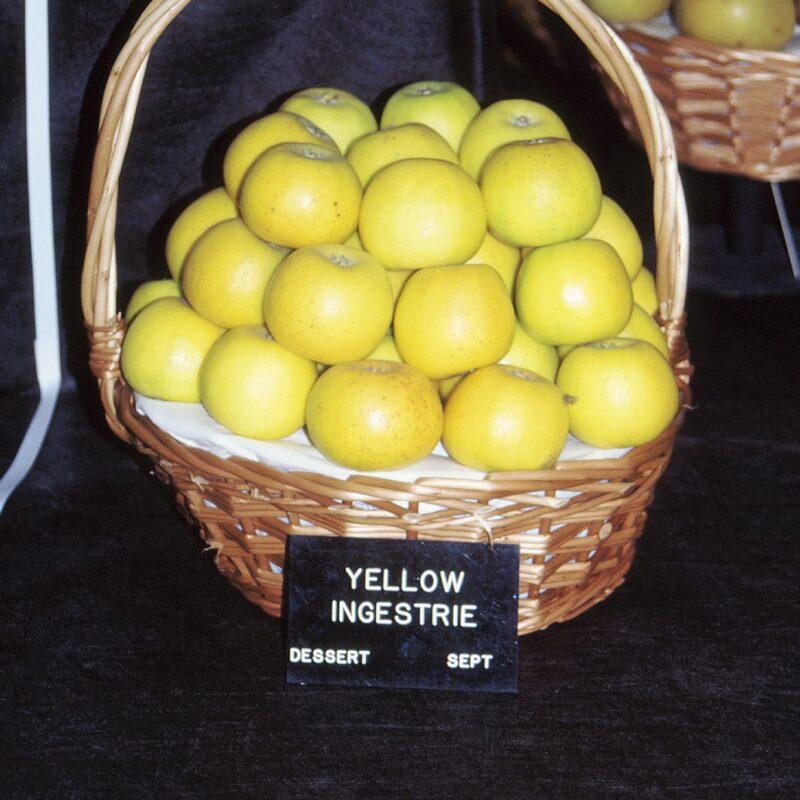 Yellow Ingestrie