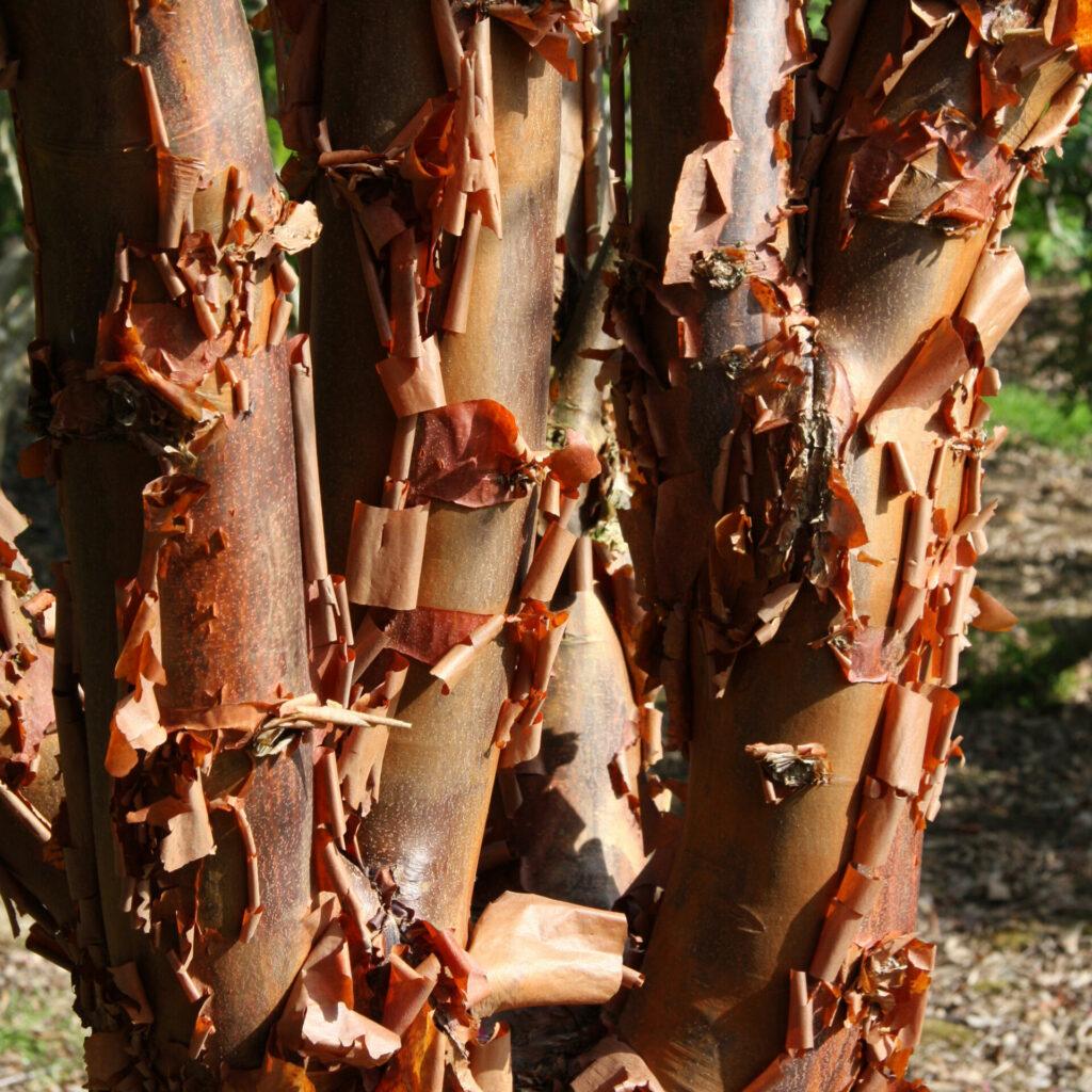 Acer griseum Ornamental Bark