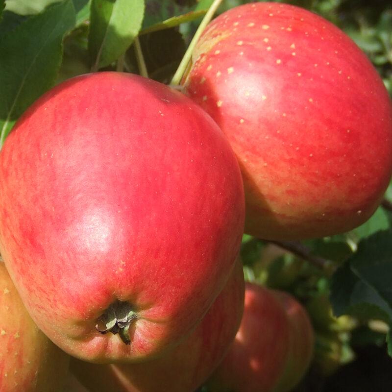 New - Apple Little Pax®