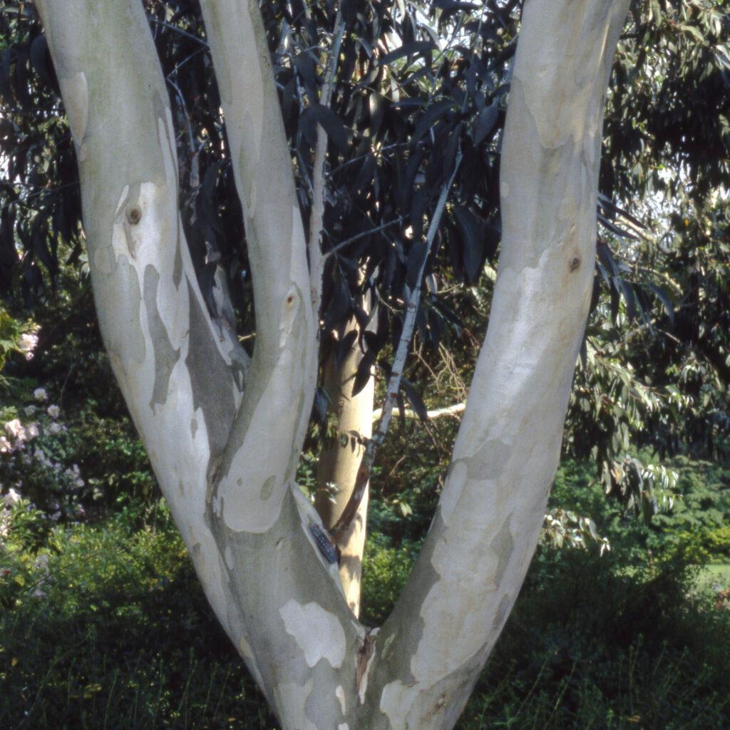 Eucalyptus niphophila Ornamental Bark