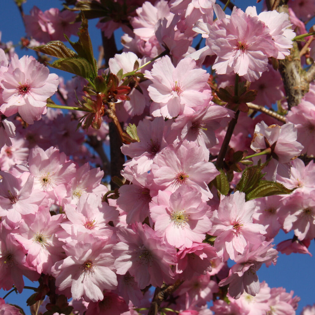 Prunus Beni-yutaka