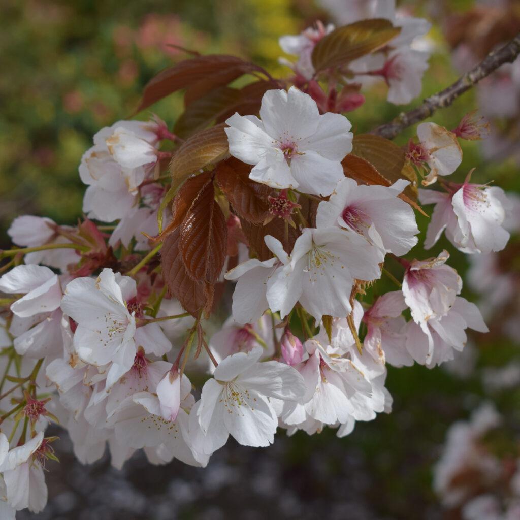 Prunus Chocolate Ice Flowering Cherry