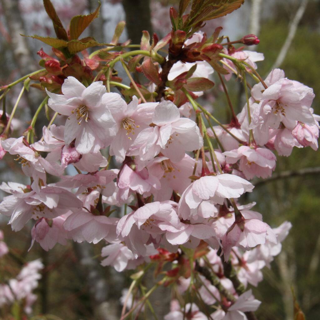 Prunus Horinji flowering cherry