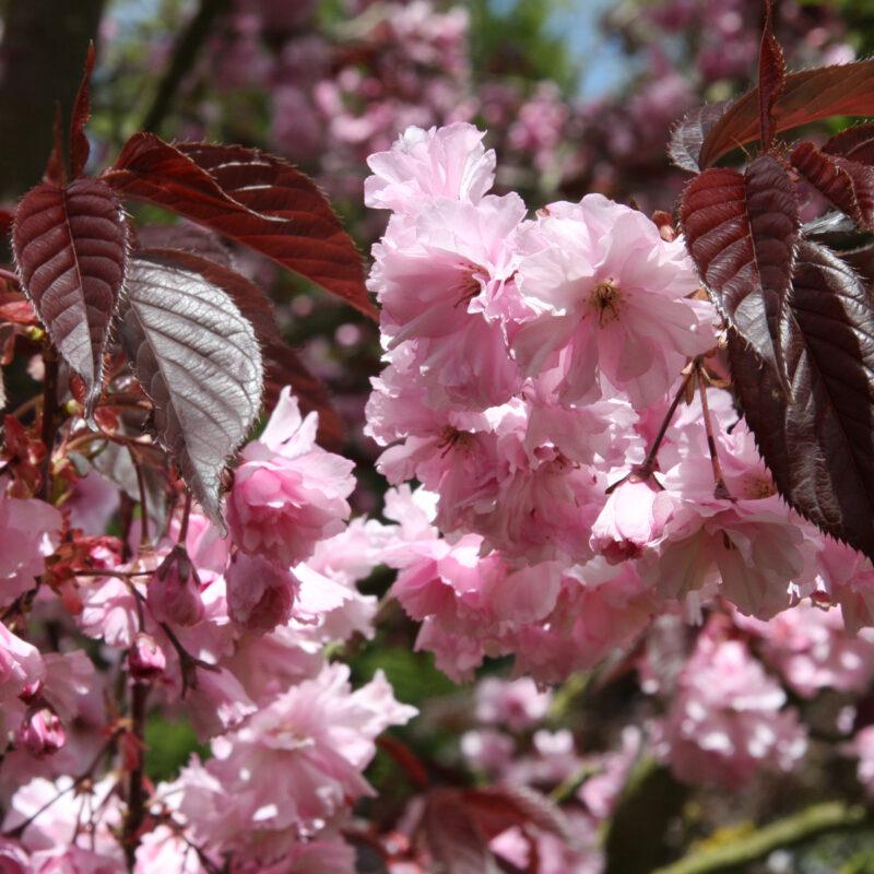 Japanese Flowering Cherry Trees Starting to Blossom 2