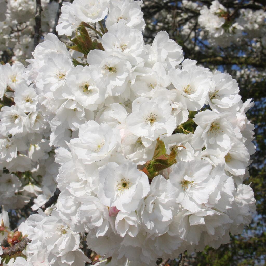 Prunus Shirotae flowering cherry