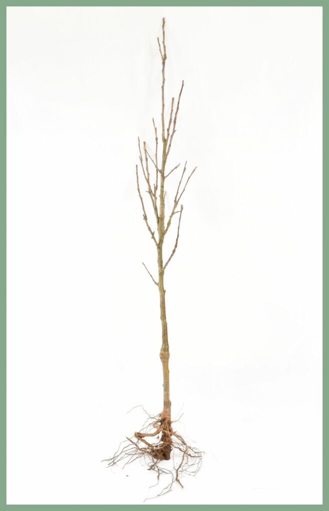 Fruit Trees - Bare Root Specifications 6
