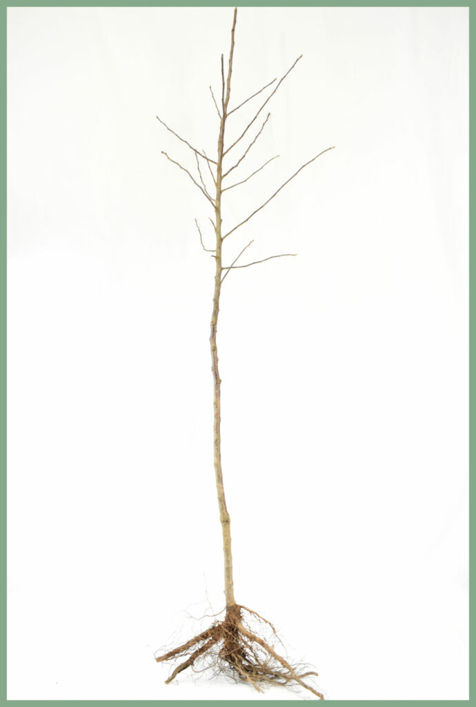 Fruit Trees - Bare Root Specifications 14