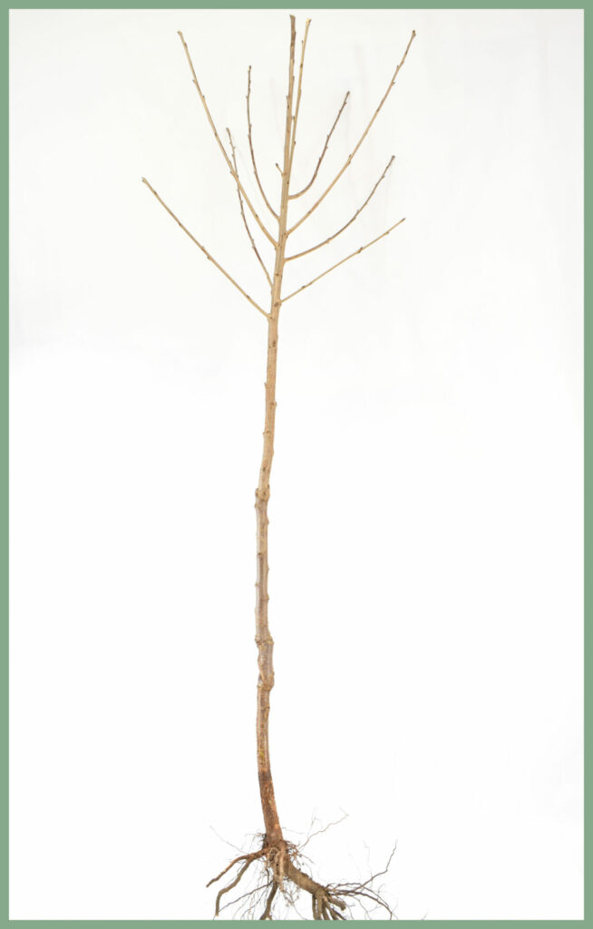 Fruit Trees - Bare Root Specifications 15