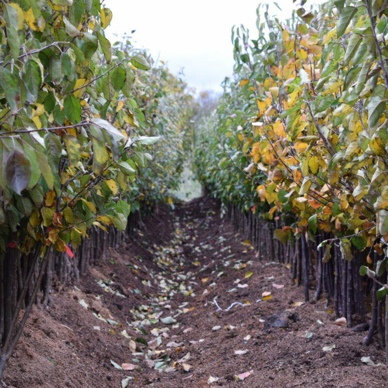 Fruit Trees - Bare Root Specifications 16