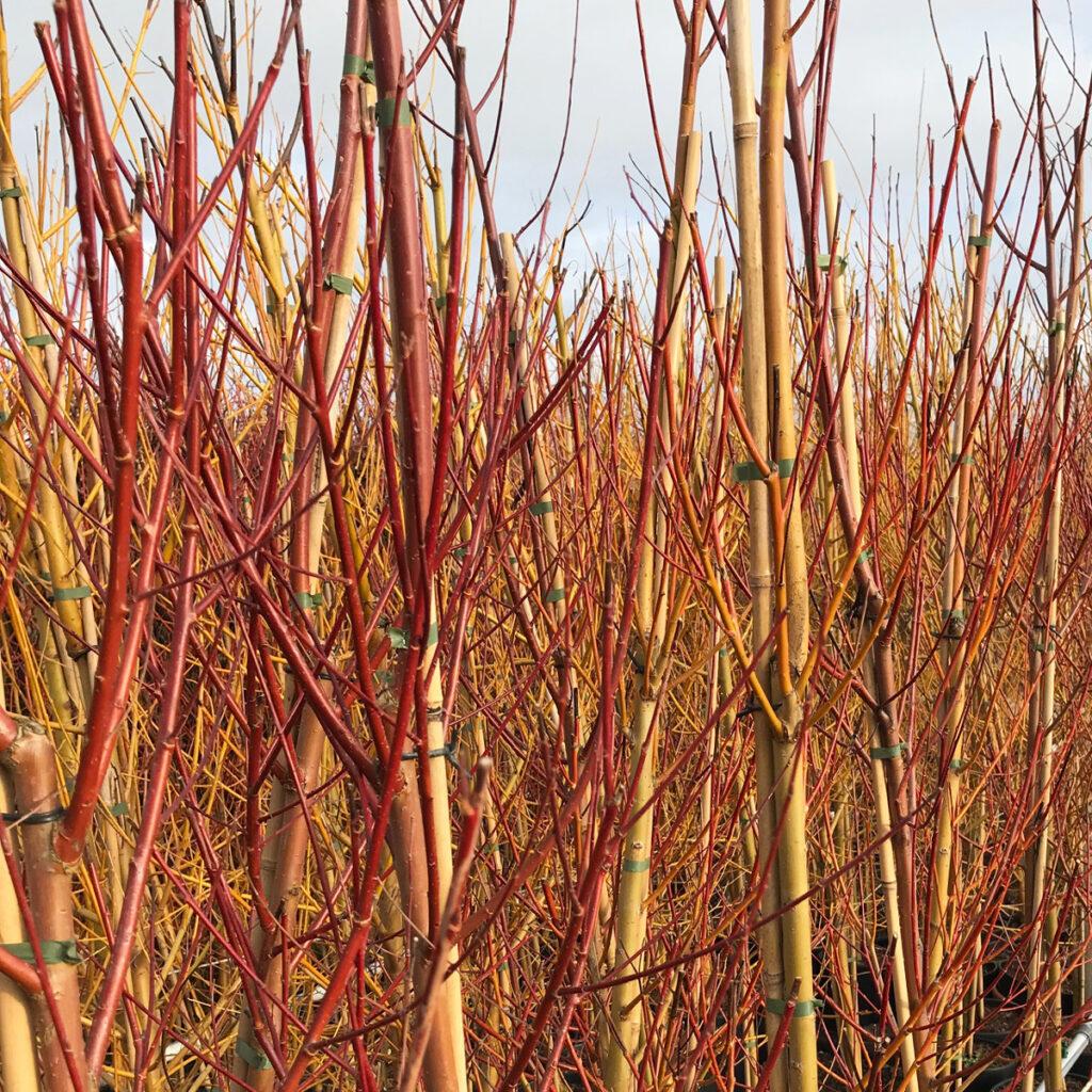 Salix Ornamental Bark