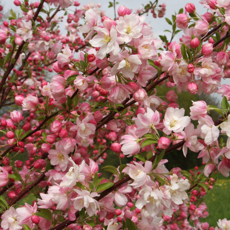 Flowering Periods for Ornamental Trees 4