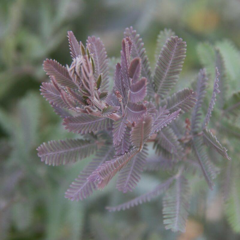Acacia bai 'Purpurea'