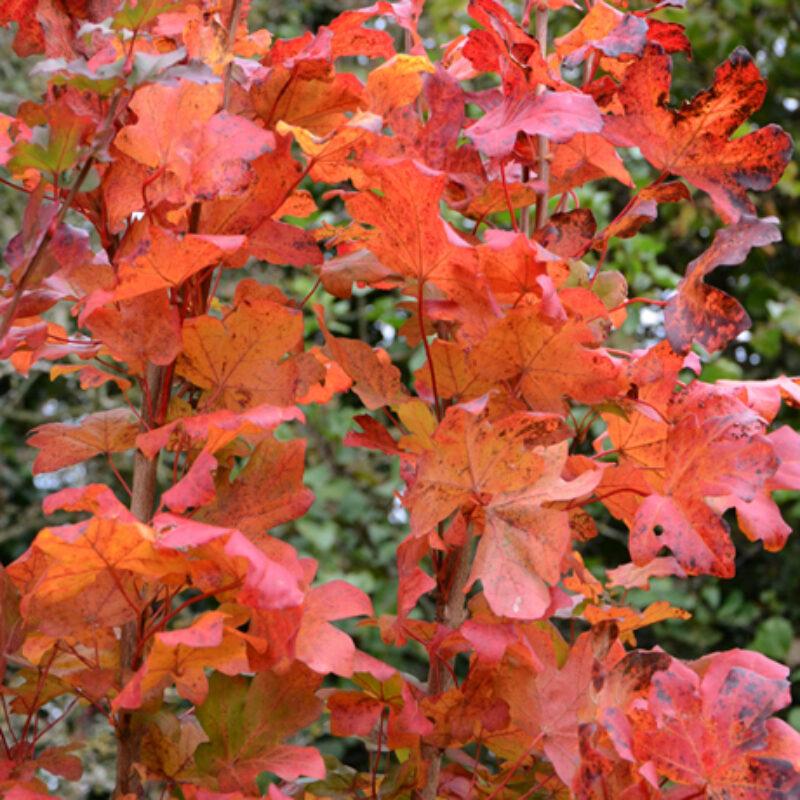 Acer campestre 'Evenley Red'