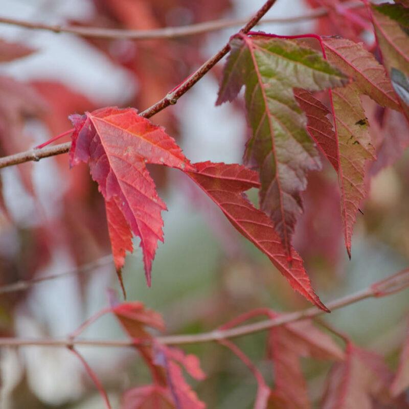 Acer ginnala 'Flame'