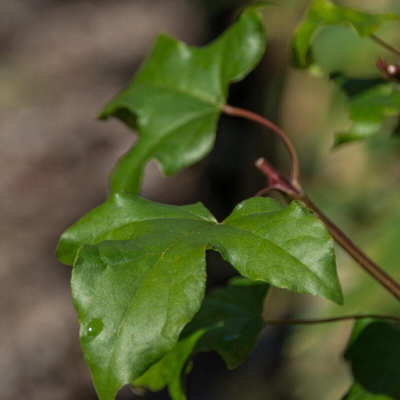 Acer orientalia