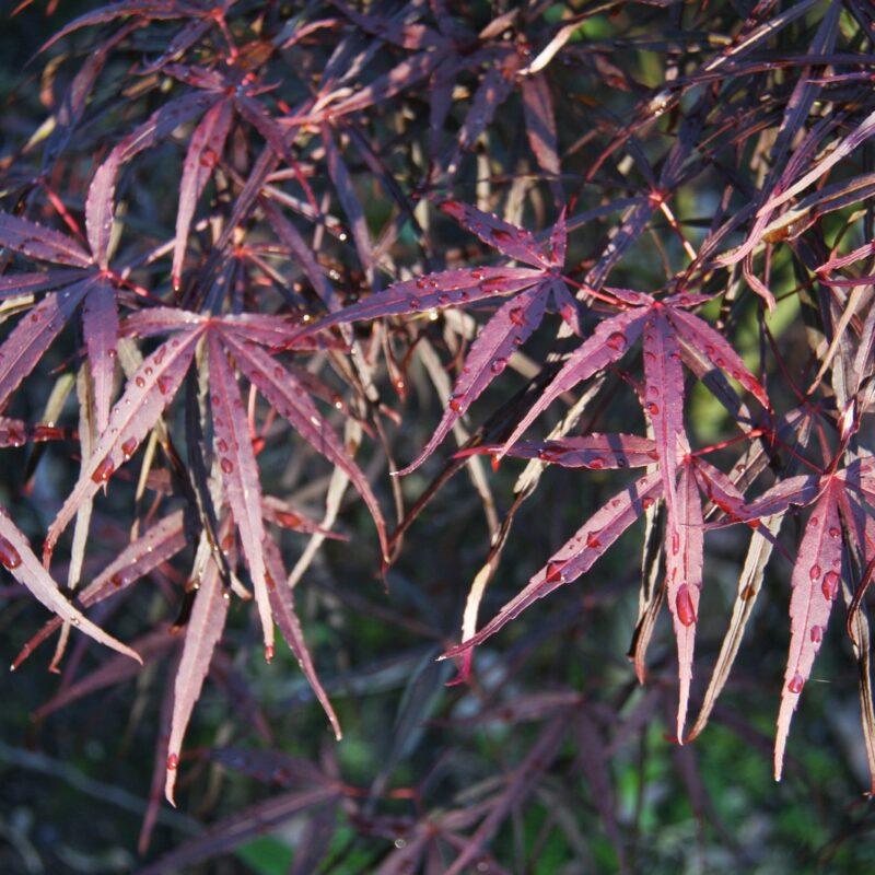 Acer palmatum 'Hubbs Red Willow'