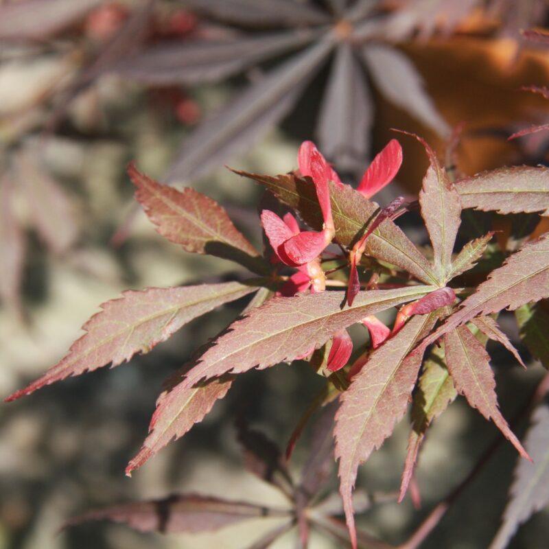Acer palmatum 'Suminagashi' 2