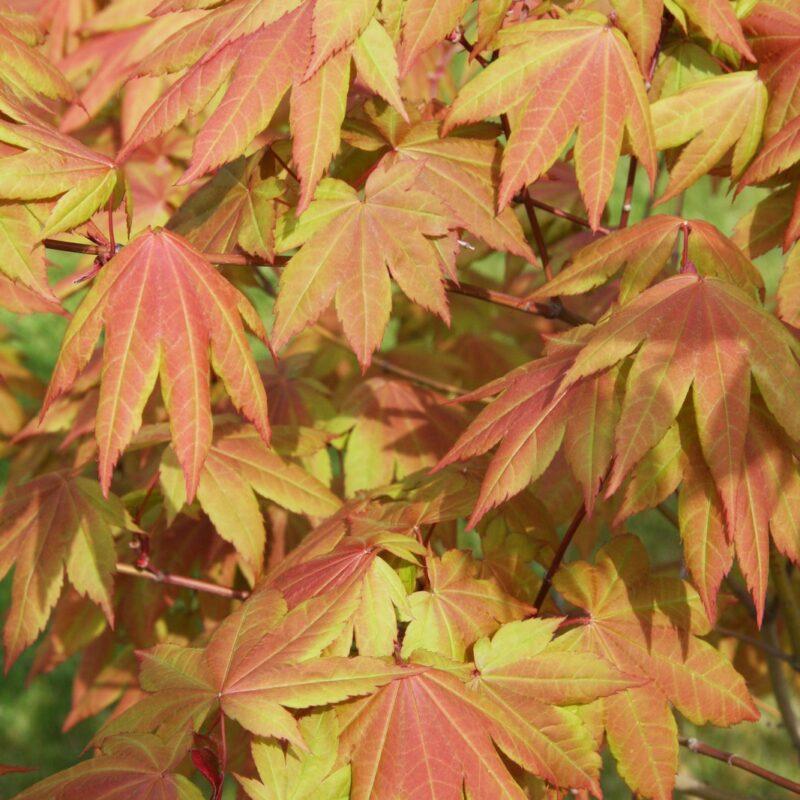 Acer palmatum x cir 'Red Wings'
