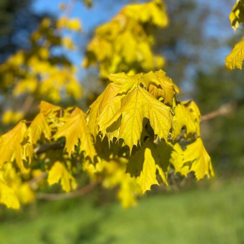Acer platanoides 'Princeton Gold'®