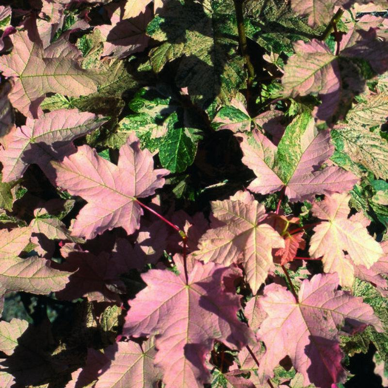 Acer pseudoplatanus var 'Esk Sunset'